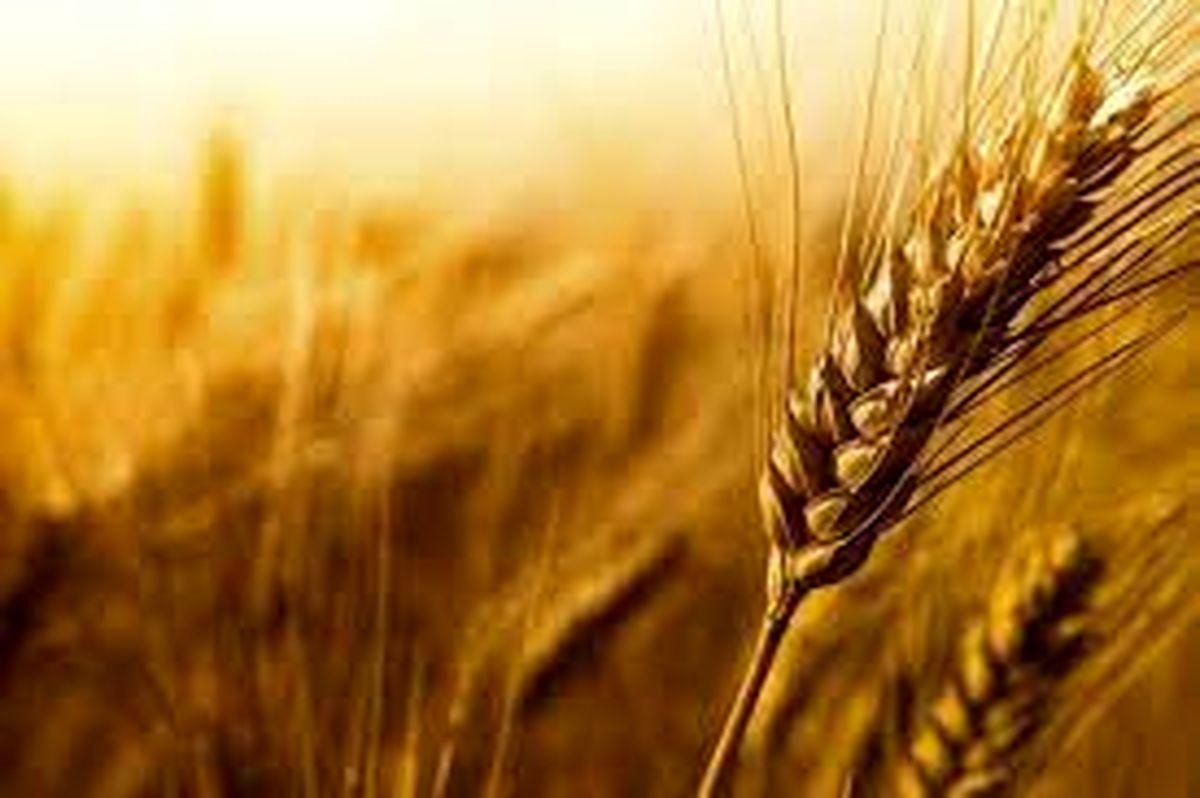 کاهش ۳۰ درصدی تولید گندم