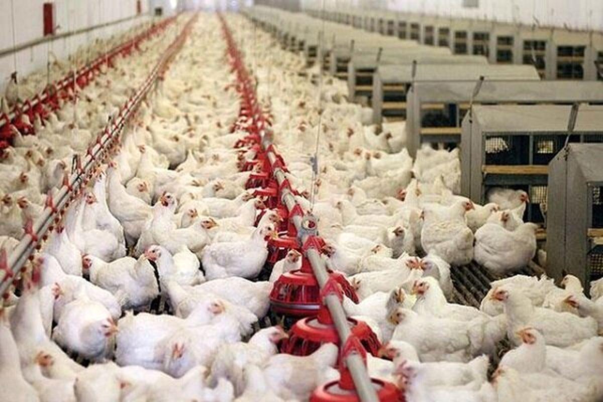 قیمت مرغ بیشتر از ۲۹ هزار تومان، سودجویی است
